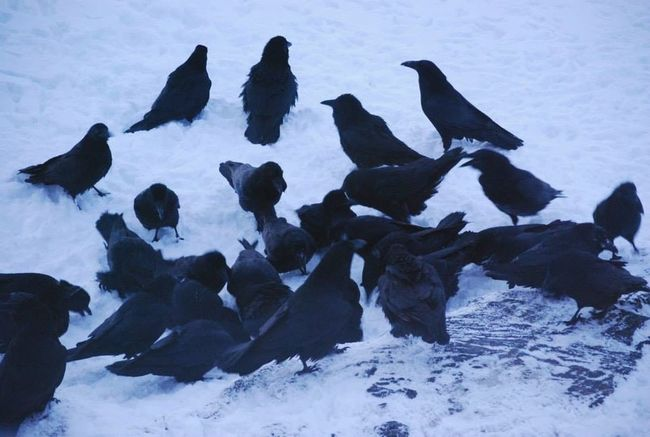 The Real Greenland Hanging Out Birds EyeEm Birds Birdwatching Wintertime Check This Out Ravens Raveparty