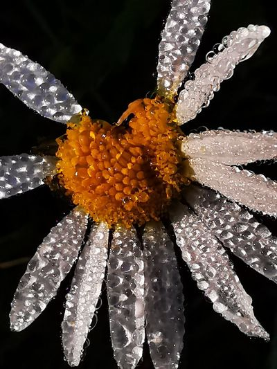 Close-up of wet flowering plant against black background