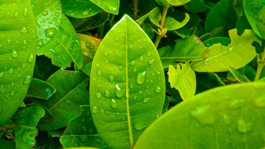 Water Leaf Full