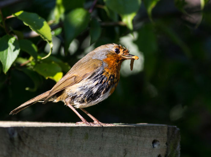 Robin Robin Redbreast Bird Birds Bird Photography Birds Of EyeEm  Feeding The Birds Nature Nature_collection Nature Photography Naturelovers Wildlife Wildlife & Nature Wildlifephotography Beauty In Nature Beautiful Nature Tree Mealworm Nature Lover EyeEm Nature Lover