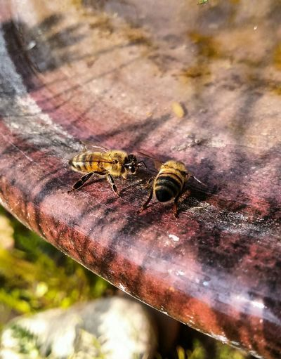 Togetherness and Teamwork...no filter only a small crop edit... Animals In The Wild Animal Wildlife Animal Themes Insect No People Close-up Outdoors Nature Insects At My Garden EyeEm Gallery The Week On EyeEm Popular Photographs Check This Out! Nature Drinking Water Beautiful Nature Bees Drinking Water Bees Thirsty Bee Animals In The Wild Communication Animals 😃 Two Of A Kind Two Animals The EyeEm Team Excellent Shot Perspectives On Nature