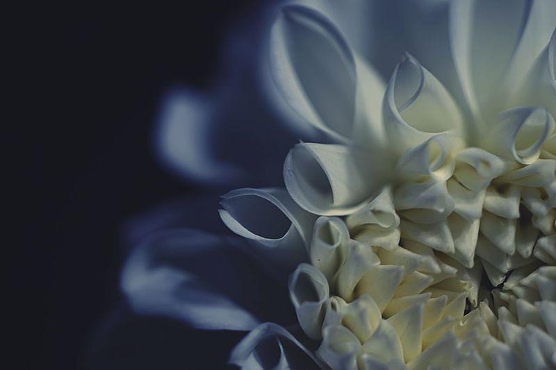 Flower Beauty In Nature Flower Head Photoshoot Hello World Eyeemphotography Taking Photos Beautiful Hope EyeEm Best Shots Nature Japan Light And Shadow EyeEm Gallery EyeEm Beauty In Nature Flowers, Nature And Beauty Flowerporn Flowers 花 ダリア ダリアの花