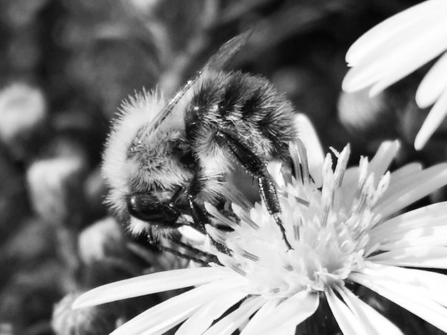 ▫️ Bumblebee and chrysanthemum▫️ Bumblebee Chrysanthemum First Eyeem Photo Eyemphotography EyEmNewHere Eyemnaturelover Beauty In Nature EyeEm Selects Bnw_collection Bnw_friday_eyeemchallenge Bnw_insects Flower Head Flower Pollination Bee Petal Insect Uncultivated Close-up Plant