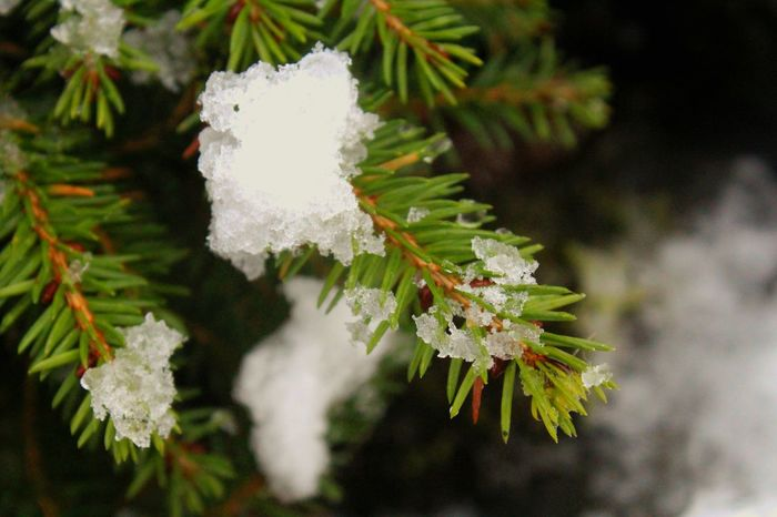Snow Covered Fir Tree Pine Tree Tree Snow Snow Covered Nature On Your Doorstep Winter Wonderland Winter Garden Pine Needles Close Up Spruce Scots Pine TreePorn Winter Trees EyeEm Nature Lover EyeEm Gallery Surrounded By Snow Backgrounds Background 🍃Green🍃 Natures Diversities Forest Photography Christmas The Culture Of The Holidays Northern Ireland Shades Of Winter
