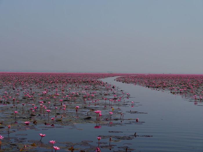 Pink Lotus Water Lilies Growing On Lake Against Sky