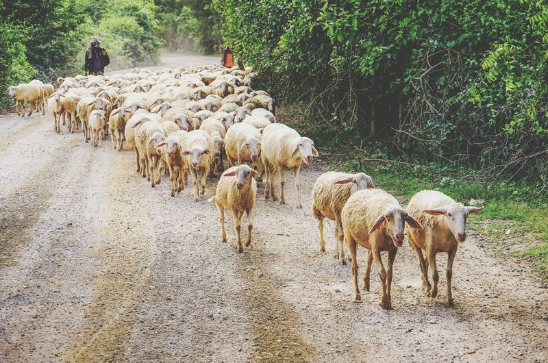View of sheep on the road