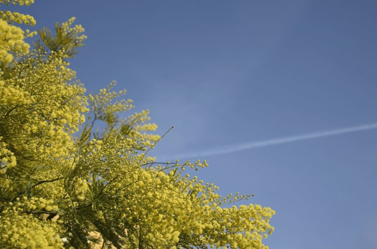 Space For Text Forsizia Yellow Outdoor Tree Nature Sky Low Angle View Beauty In Nature Blue Outdoors Branch Day Growth Scenics Freshness No People Tranquility Flower Clear Sky Vapor Trail