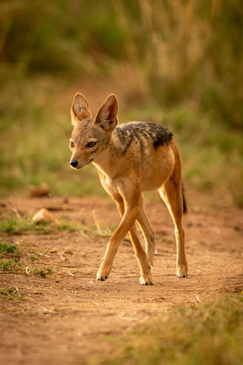 Black-backed jackal walking on land