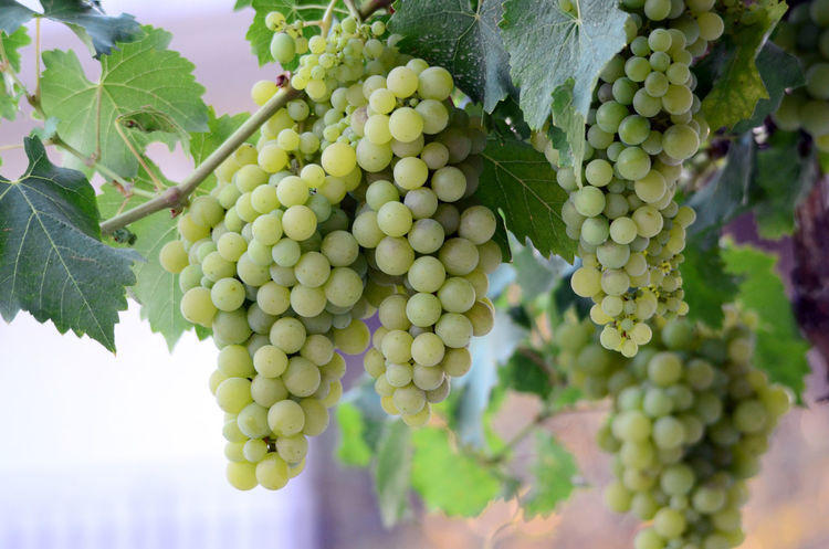 grapes Bunch Close-up Cluster Day Grapes On The Vine Grapes 🍇 No People Summer