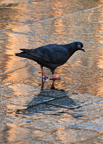 Close up pigeon on wet cobblestone road Copy Space Vivid Animal Themes Animals In The Wild Bird Close-up Cobblestone Day Nature One Animal Outdoors Paved Road Pigeon Reflection Stone Pavement Sunset Urban Water Stories From The City