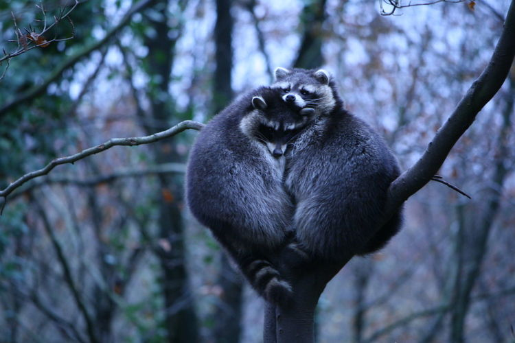 Low Angle View Of Raccoons Sitting On Branch