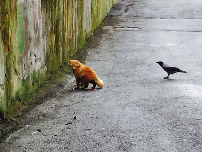 Kedi Karga