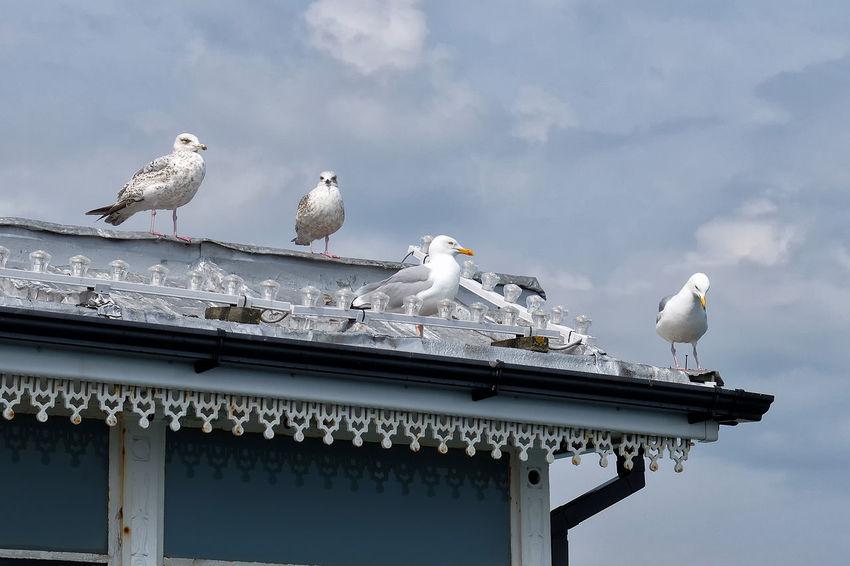 087/365. Brighton Pier UK Seagulls Animal Themes Animal Wildlife Bird Building Exterior Cloud - Sky Day No People Outdoors Perching Sea Bird Seagull
