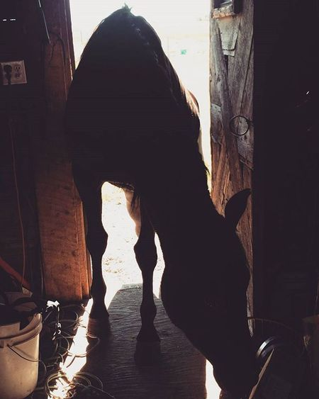 When your horse doesn't know he's a horse... Bravo Farmproblems Countrylife Morganhorse Horsesofinstagram Morgans Horses Tetonvalley Onlyinidaho Idahogram Idahome Hethinksheshuman Beggingforcookies Cookiemonster