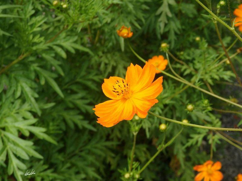 元気を出して SH1 Flower キバナコスモス No Edit/no Filter