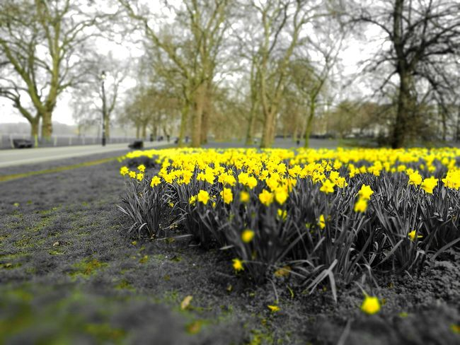 Flower Yellow Nature Springtime Blossom Growth Plant Beauty In Nature No People Grass Fragility Hyde Park London LONDON❤ City Life