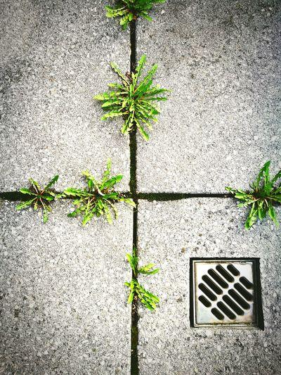 Nature Growth Outdoors No People Beton Abfluss-sieb Draußen Statt Drinnen Herbal Day Quadratic Grey Green