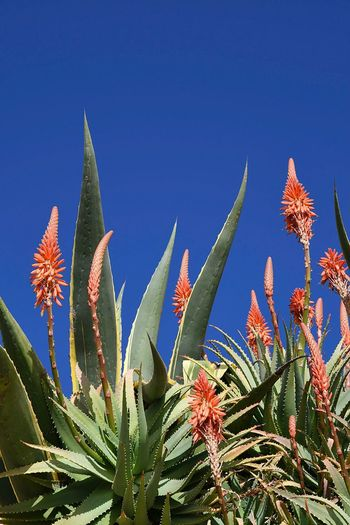 agave in bloom Agave Agave Plant Agave Flower Agave In Flower Orange Flowers Succulents Succulent Plant Vivid Colours  Blue Sky Blue And Orange Colors Contrasting Colors Blooming Plants And Sky Close-up Beauty In Nature Liguria,Italy
