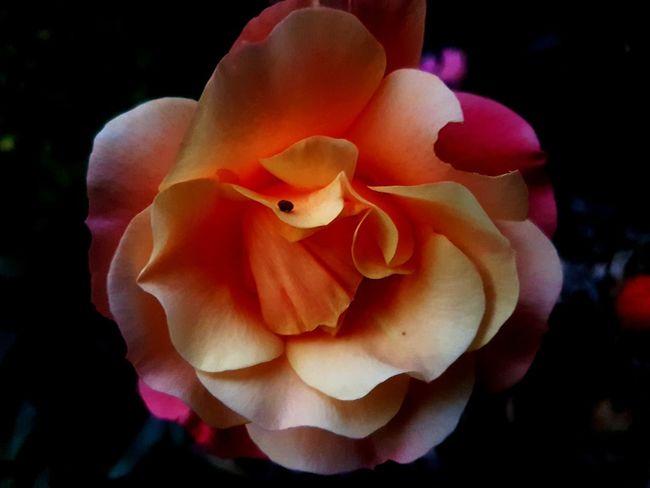 Flower Head Flower UnderSea Petal Close-up Coral Colored Rose - Flower Single Flower Wild Rose In Bloom Plant Life Single Rose Rose Petals Rose Hip Botany Blossom
