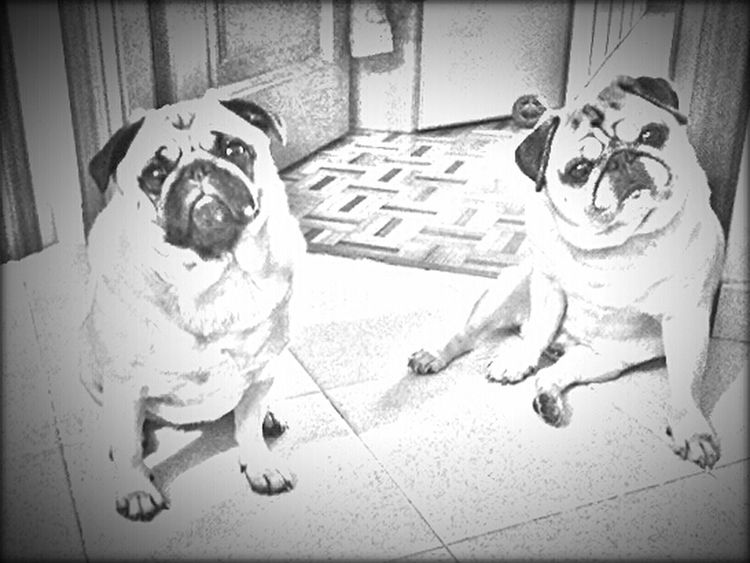Ulisse & Mathilda Carlino Cane Dog Carlino Pug Life  Pug Love Mummy Love  Turin Italy Lovepugs Carlino Pug Torino, Italy Piemonte