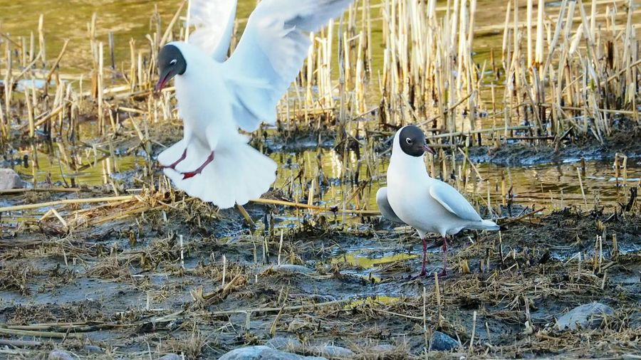 Bird Animal Themes Animals In The Wild Animal Wildlife Nature Outdoors Laughing Gulls Gulls Gull In Flight Spring 2017 Beautiful Nature Animal Photography Close-up Animals In The Wild Nature Bird Meetings Spring Has Arrived No People Water Day