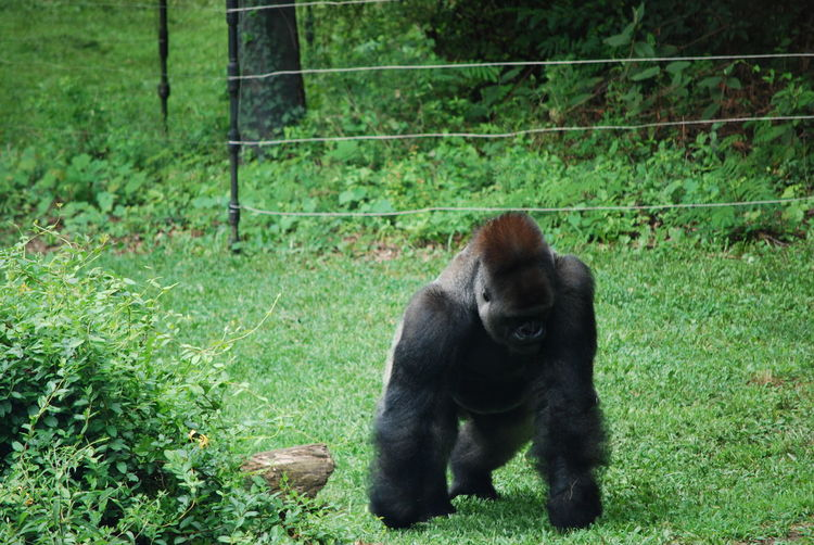 Animal Themes Animals In The Wild Day Field Gorilla Grass Green Color Majestic Mammal Nature No People One Animal Outdoors Silverback Gorilla Wildlife Photography