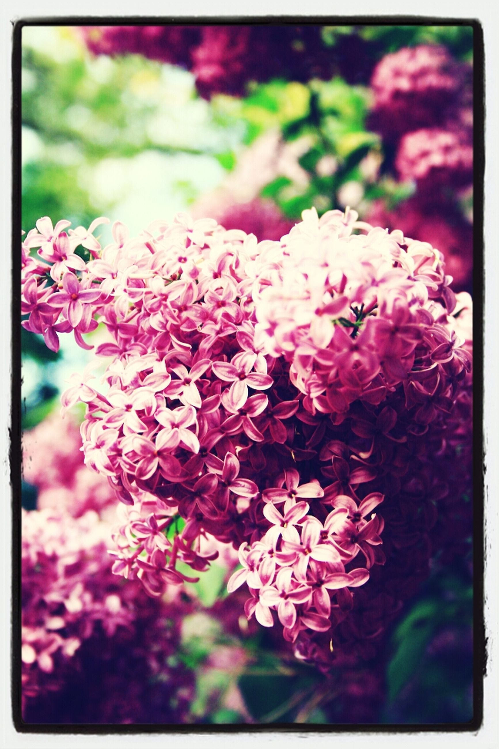 transfer print, flower, freshness, auto post production filter, fragility, petal, growth, beauty in nature, flower head, close-up, focus on foreground, pink color, blooming, nature, plant, in bloom, blossom, selective focus, park - man made space, outdoors