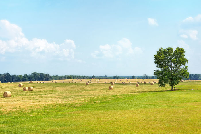 Rolls of hay drying in the summer heat. Beauty In Nature Cloud Field Grass Green Color Hay Hay Rolls Landscape Nature Pasture Rural Scene Sky Summer Tree