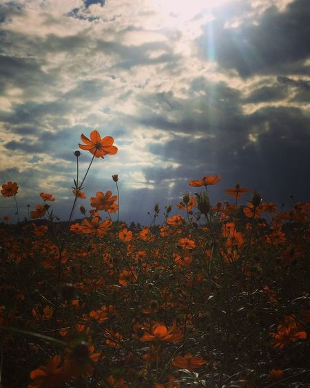 Flower Freshness Fragility Growth Beauty In Nature Springtime Cloud - Sky Nature In Bloom Blossom Sky Cloud Field Plant Sunbeam Botany Vibrant Color Scenics Day Tranquility Autumn Colors Cosmos Flower Cosmos