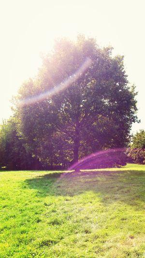 Tree Forest Sky Sunshine ☀