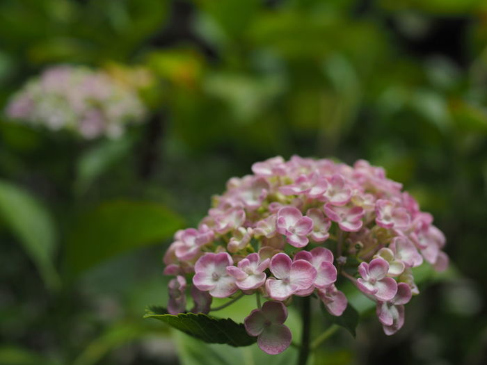 Flower Flowering Plant Plant Beauty In Nature Freshness Fragility Vulnerability  Growth Close-up Petal Focus On Foreground Pink Color Nature Inflorescence Day Flower Head No People Outdoors Plant Part Botany Lilac Purple Hydrangea Olympus Olympus OM-D EM-1 Nokton25mmF0.95 Saga Japan