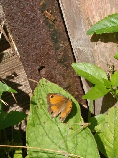 Find all the insects Nature Insect Butterfly Grasshopper Hedge Brown Gatekeeper Butterfly Wildlife Garden Animals In The Wild