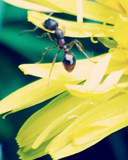 Macrophotography Macro Phone Photo Asuszenfone Ant Dandelion Nature Yellow Flower муравей одуванчик муравейнацветке