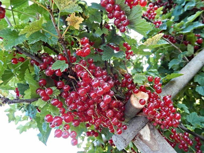 Harvest time:-) :-) Enjoying Life Berries Rural Life Summer Time  / Время собирать урожай:-) ягоды, очарование деревни, Сельская жизнь