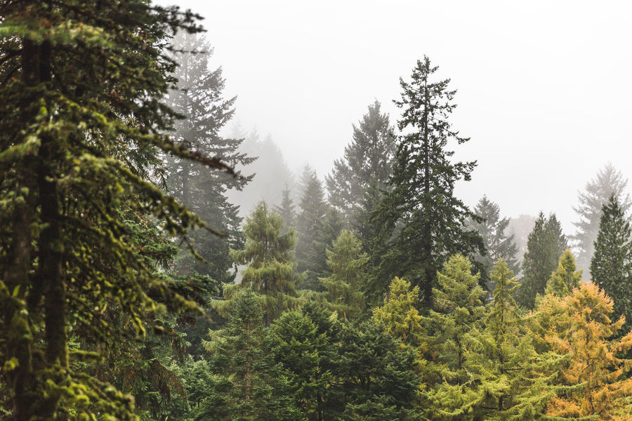 Hoyt Arboretum / Forest Park in Portland, Oregon, USA. Fall time foggy and rainy day. Beauty In Nature Clear Sky Day Forest Growth Landscape Mountain Nature No People Outdoors Pine Tree Scenics Sky Spruce Tree Tree