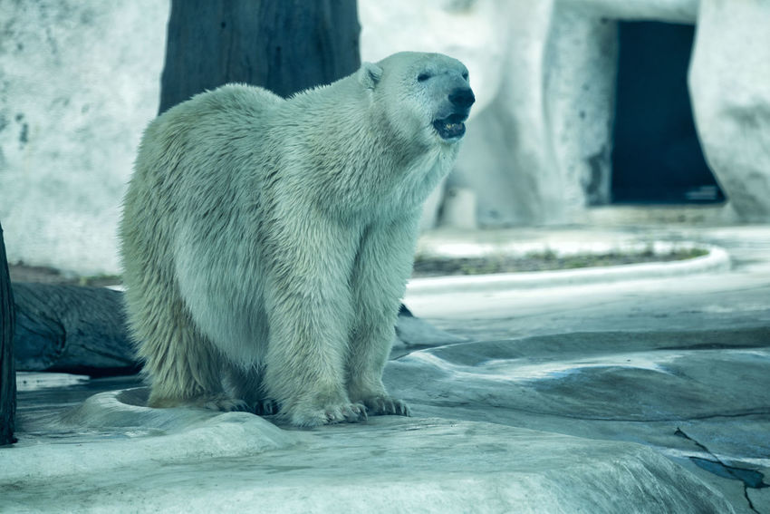 View of a polar bear (Ursus maritimus) inside its enclosure at the local zoo. It is a species threatened by the effects of climate change. Endangered Species Polar Bear Zoo Animal Themes Animal Wildlife Animals In The Wild Close-up Cold Temperature Day Mammal Nature No People One Animal Outdoors Snow Ursus Maritimus Water Winter
