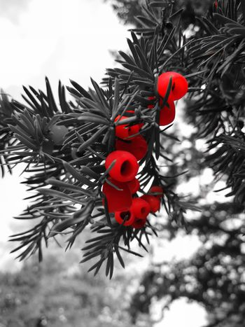 Red Low Angle View No People Tree Day Outdoors Christmas Decoration Nature Close-up P10 Plus Photography Depth Of Field Splash Berries Twig EyeEm Selects EyeEm Best Shots Huawei Photography Leica Lens Plant