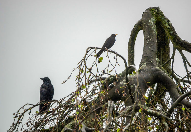 Birds Crow Raven Bird Merl 2 Birds Animal Animal Themes Animal Wildlife Animals In The Wild Bird Blackbird Branch Clear Sky Day Group Of Animals Low Angle View Nature Outdoors Perching Plant Sky Tree Two Animals Tree Trunk Bare Tree Songbird