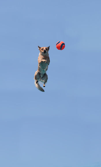 Low angle view of dog reaching for ball in mid-air