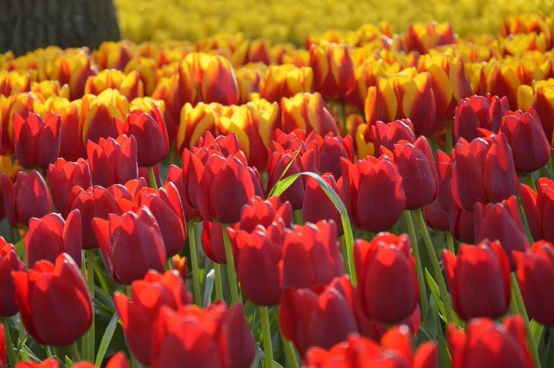 Tulips Blooming At Keukenhof Gardens