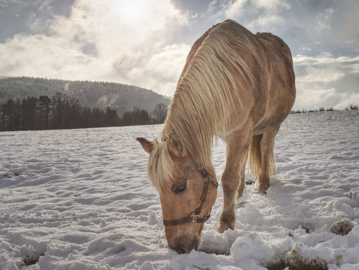 Horse standing on snow covered field against sky