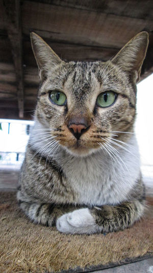 Close-up portrait of tabby cat