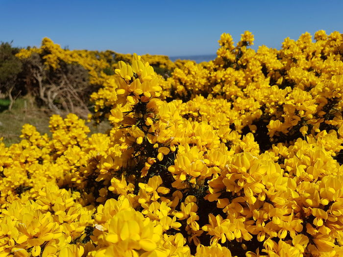 Carlingford Ireland May Flower Yellow Plant Nature Botany Blossom Beauty In Nature Growth Agriculture Flower Head Uncultivated Outdoors Day Landscape Scenics Springtime No People Travel Destinations Freshness Fragility