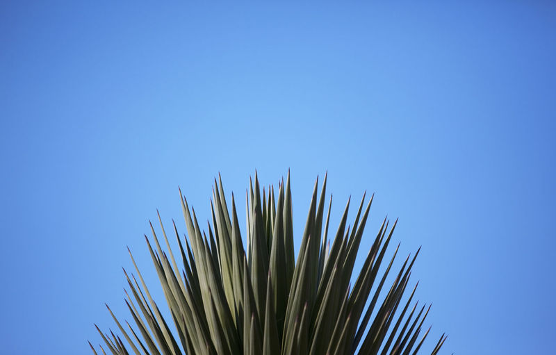 Low angle view of tall grass against clear blue sky