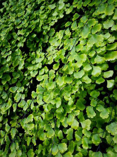 Full frame shot of maidenhair ferns