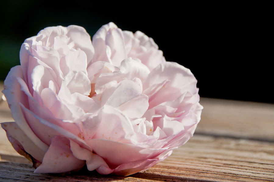 Lost In The Landscape Beauty In Nature Black Background Close-up Day Flower Flower Head Fragility Freshness Indoors  Nature No People Peony  Petal Pink Color Rose - Flower Rose Petals Table Wood - Material