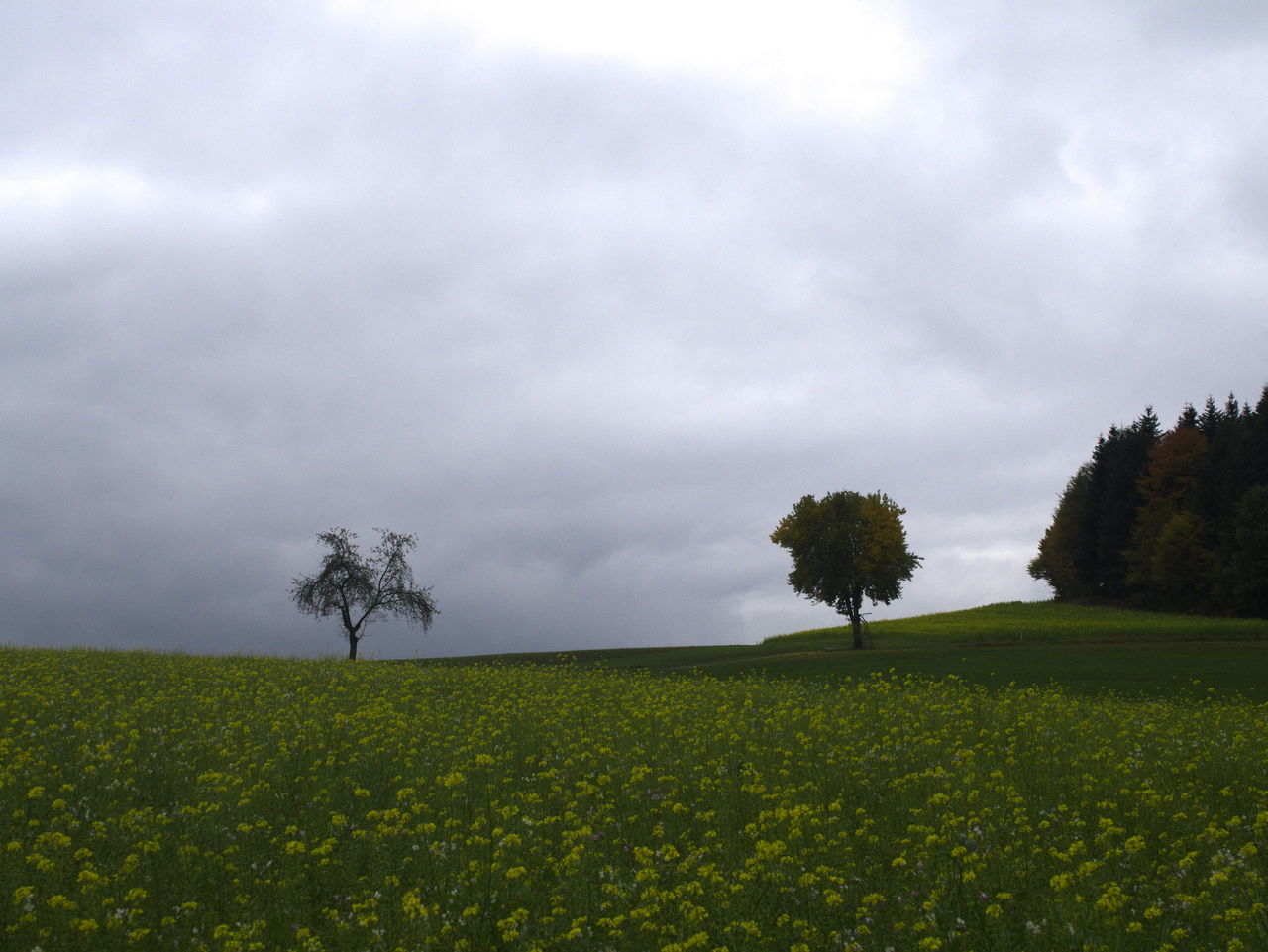 tree, field, nature, beauty in nature, tranquility, landscape, tranquil scene, growth, agriculture, scenics, sky, day, outdoors, no people, rural scene, cloud - sky, green color, grass, flower, freshness