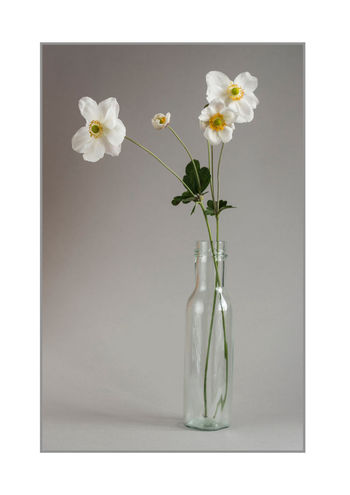 japanese anemone and vase Classic Japanese Anemone Studio Beauty In Nature Bouquet Close-up Flower Flower Head Fragility Freshness Growth Nature No People Petal Still Life Studio Shot Vase White Background