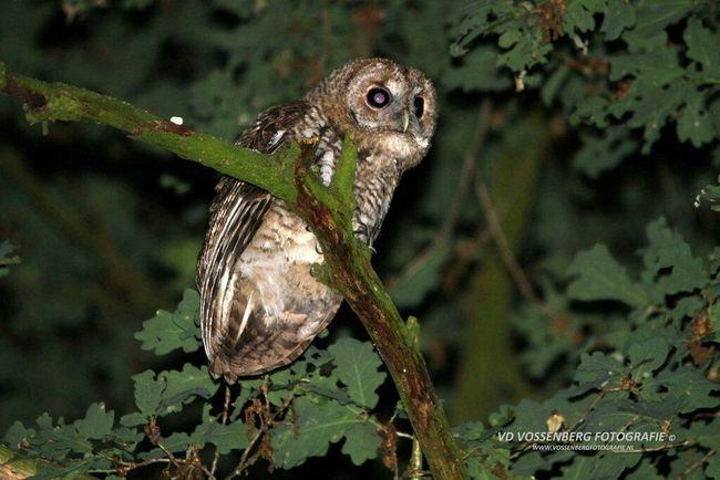 Owl hears something