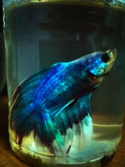 Fightingfish Underwater Sea Water Natureinmotion